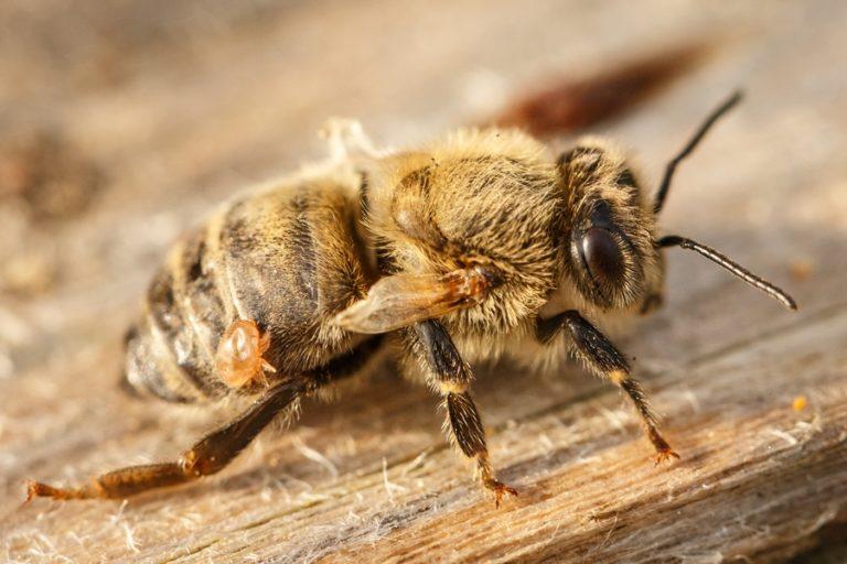 Bolezni čebel in škodljivci v čebelnjaku